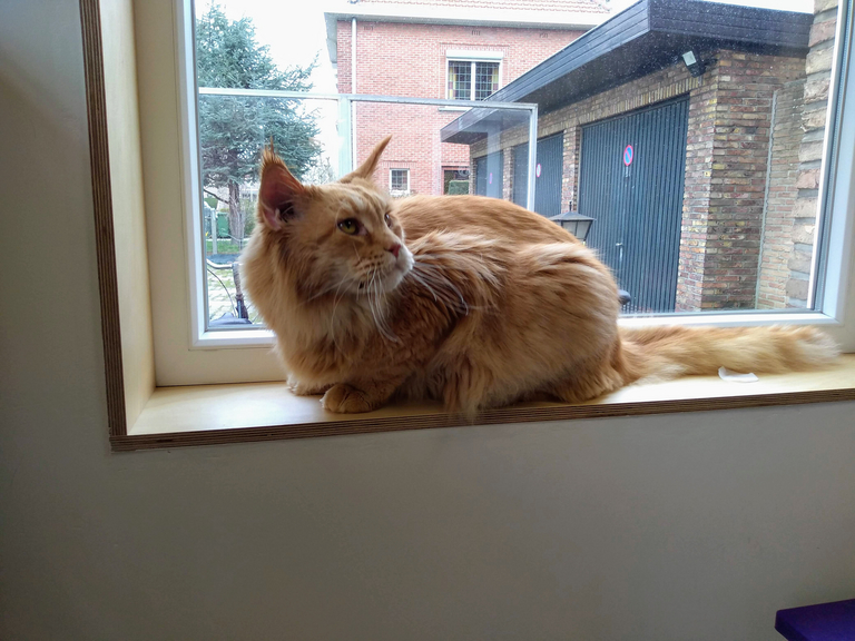 Maine Coon in trimsalon